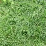 Рулонный газон от производителя